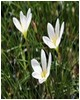 To Zephyranthes